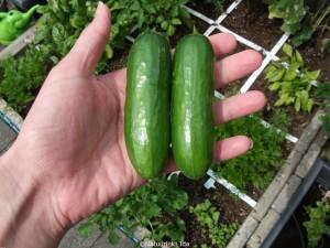Snack komkommers 1